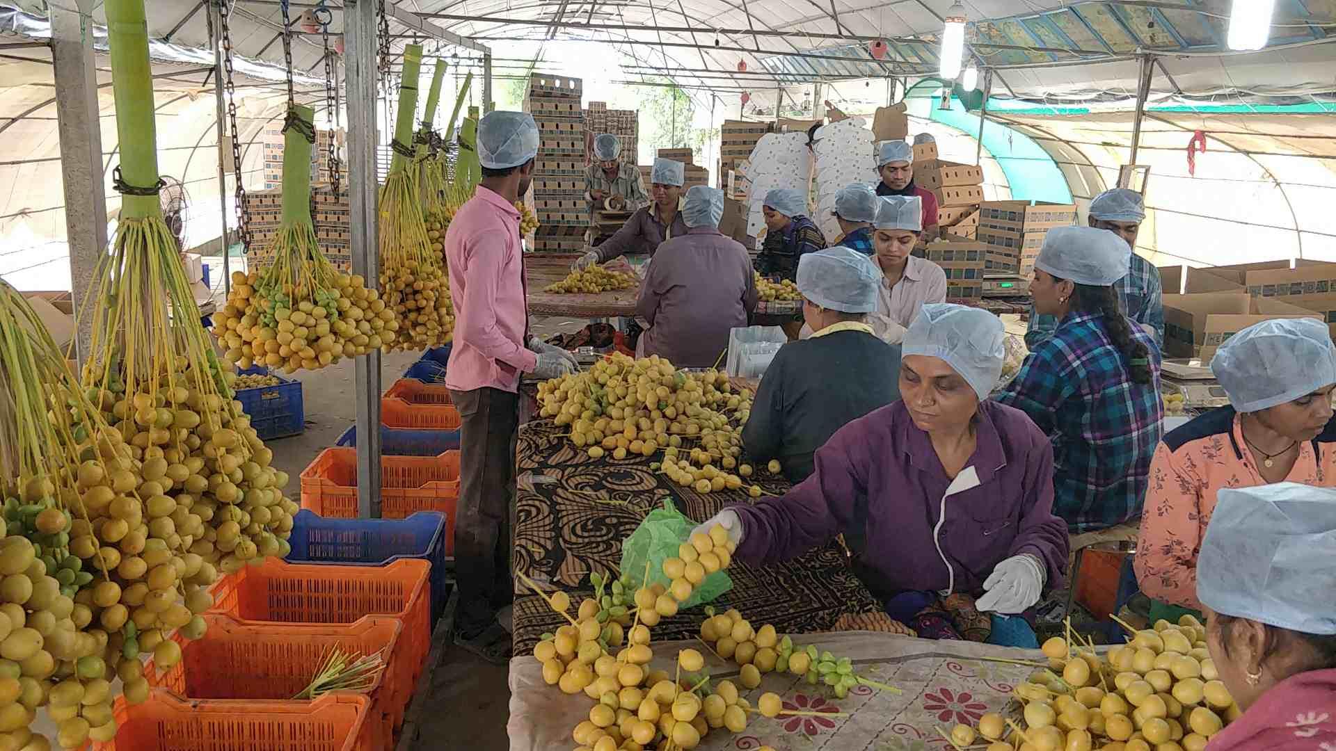 Gujarat Farmer Growing Dates